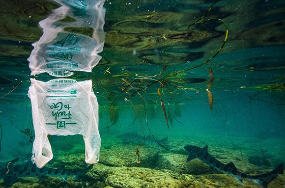 Leopard shark with plastic bag