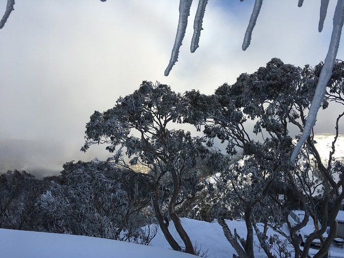 Landscape gum trees in the snow