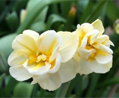 Cheerfulness Daffodils