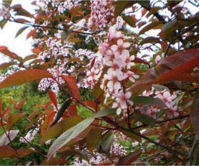 Pink Flowering Bird Cherry
