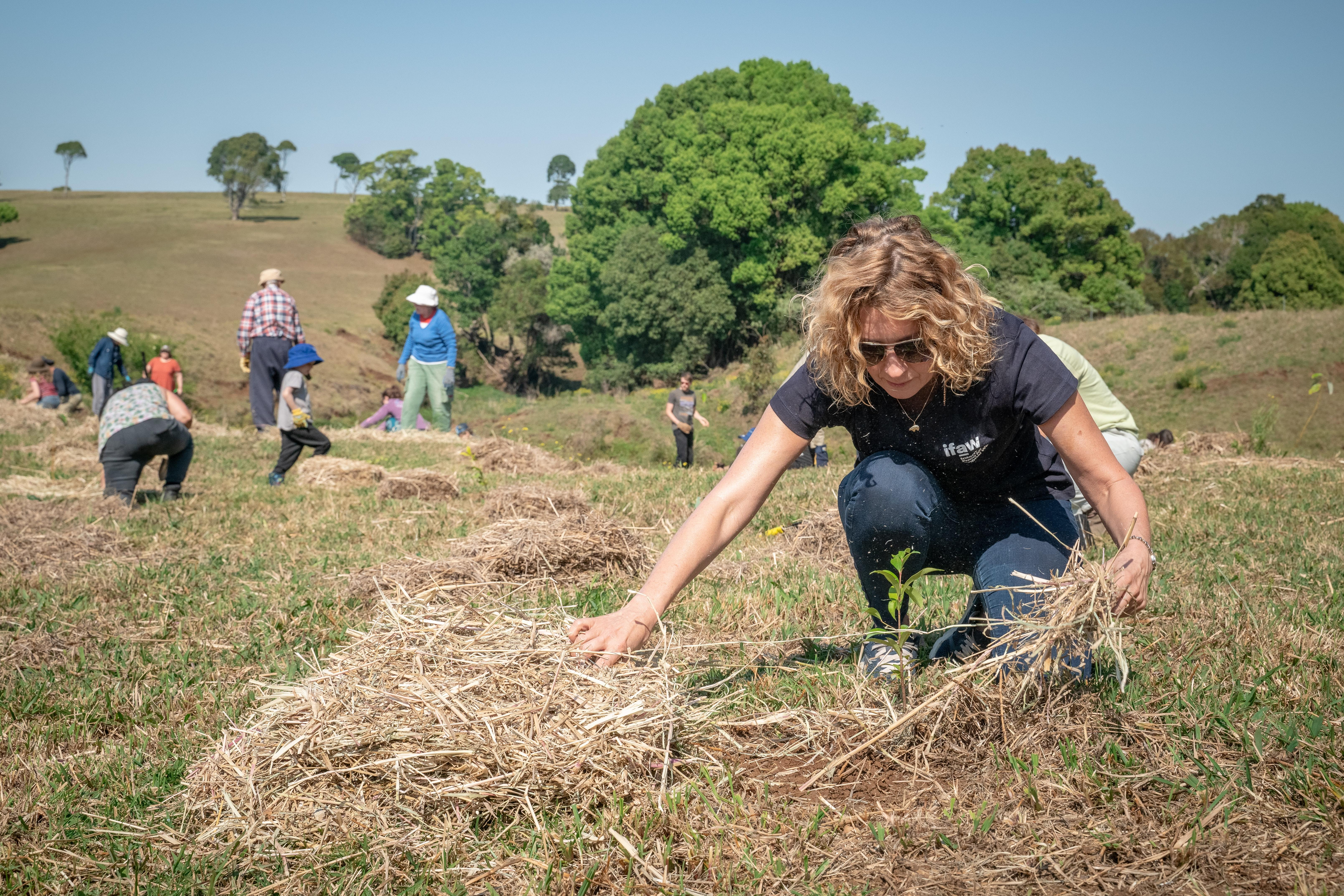 A person crouched down, pulling hay away from a plant, with other people in the background.