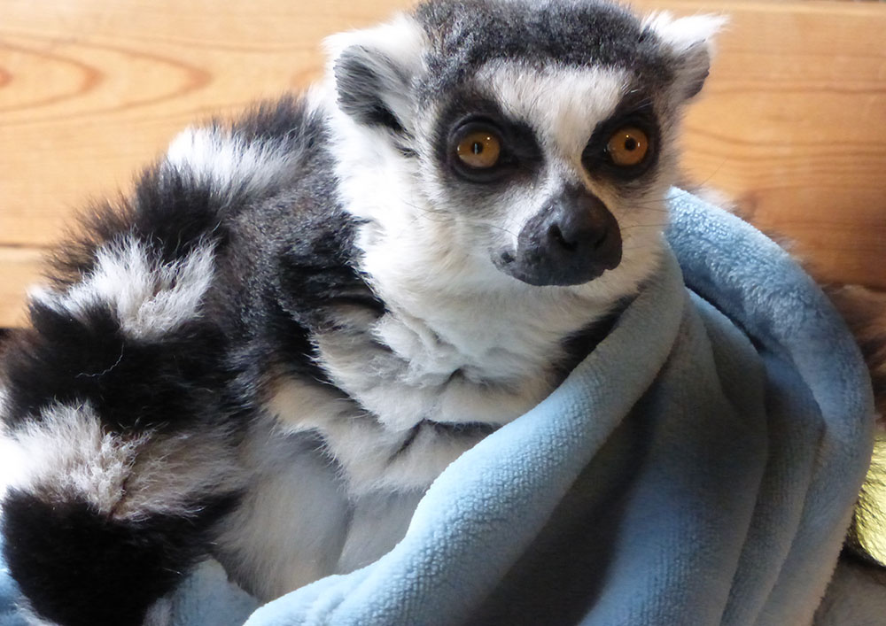 Remi, a ring-tailed lemur