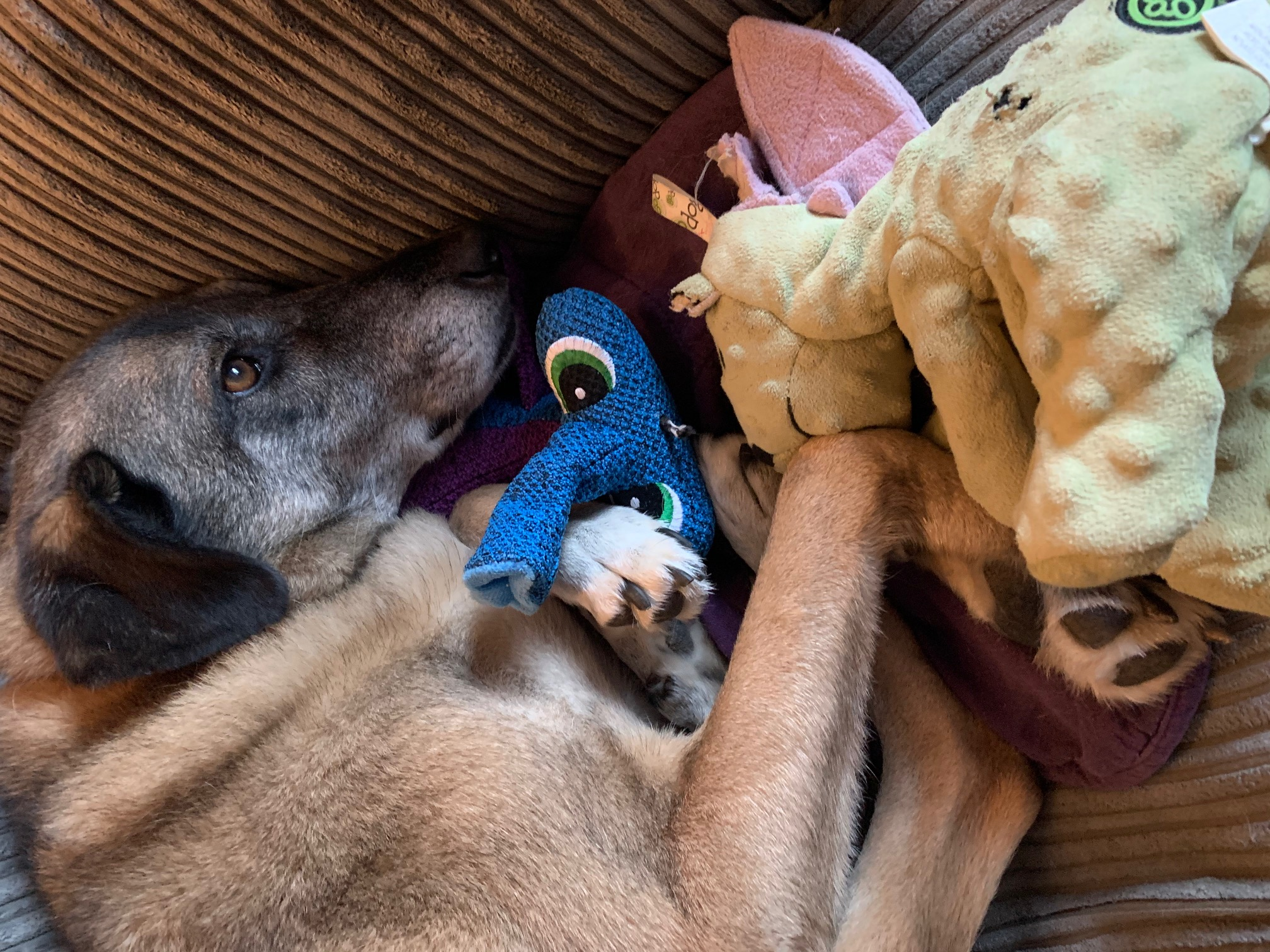 large dog with toys and a vacant gaze