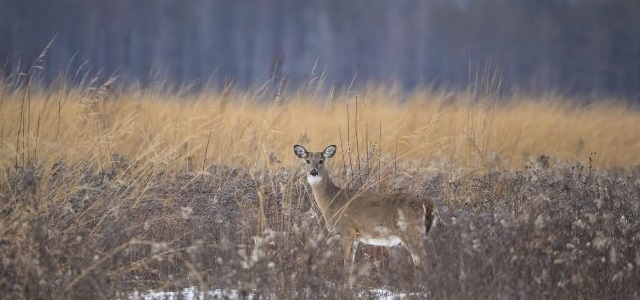 A white-tailed deer in the Forest Preserves