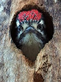 Nuttall's Woodpecker nestling in tree cavity