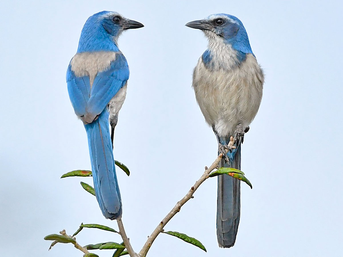 Two Florida Scrub-Jays face each other against the sky