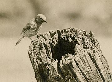 Eastern Bluebird at nest