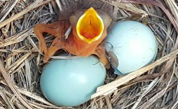 Eastern Bluebird by Kimberlie Sasan/NestWatch.
