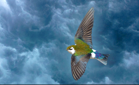 Violet-green Swallow by Jhoneil Centeno/Macaulay Library