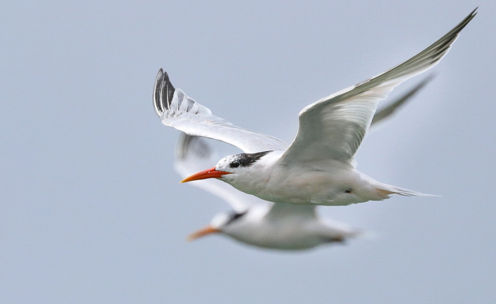 Elegant Terns by Oscar Wilhelmy/Macaulay Library