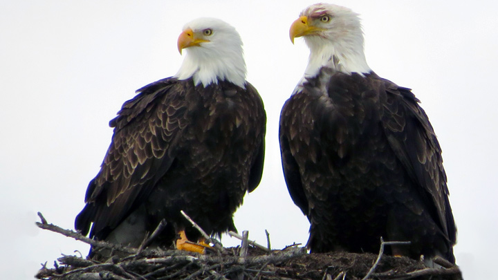 Bald Eagles by Blaire Smith