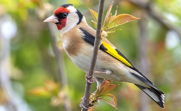 European Goldfinch by Daniel Field/Macaulay Library.