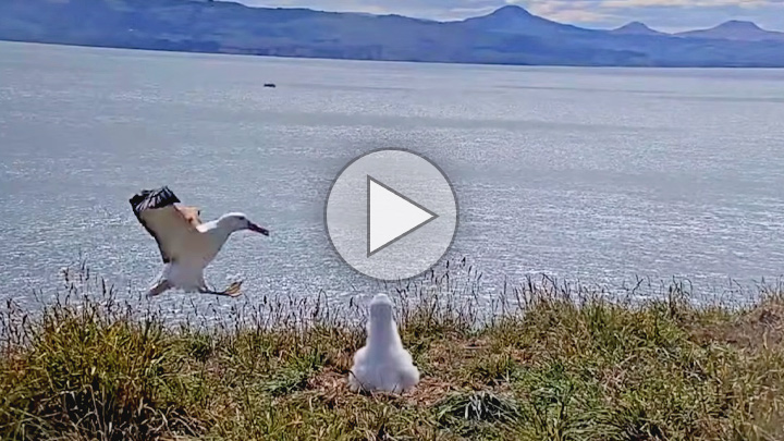 ANorthern Royal Albatross lands in New Zealand on Bird Cams.