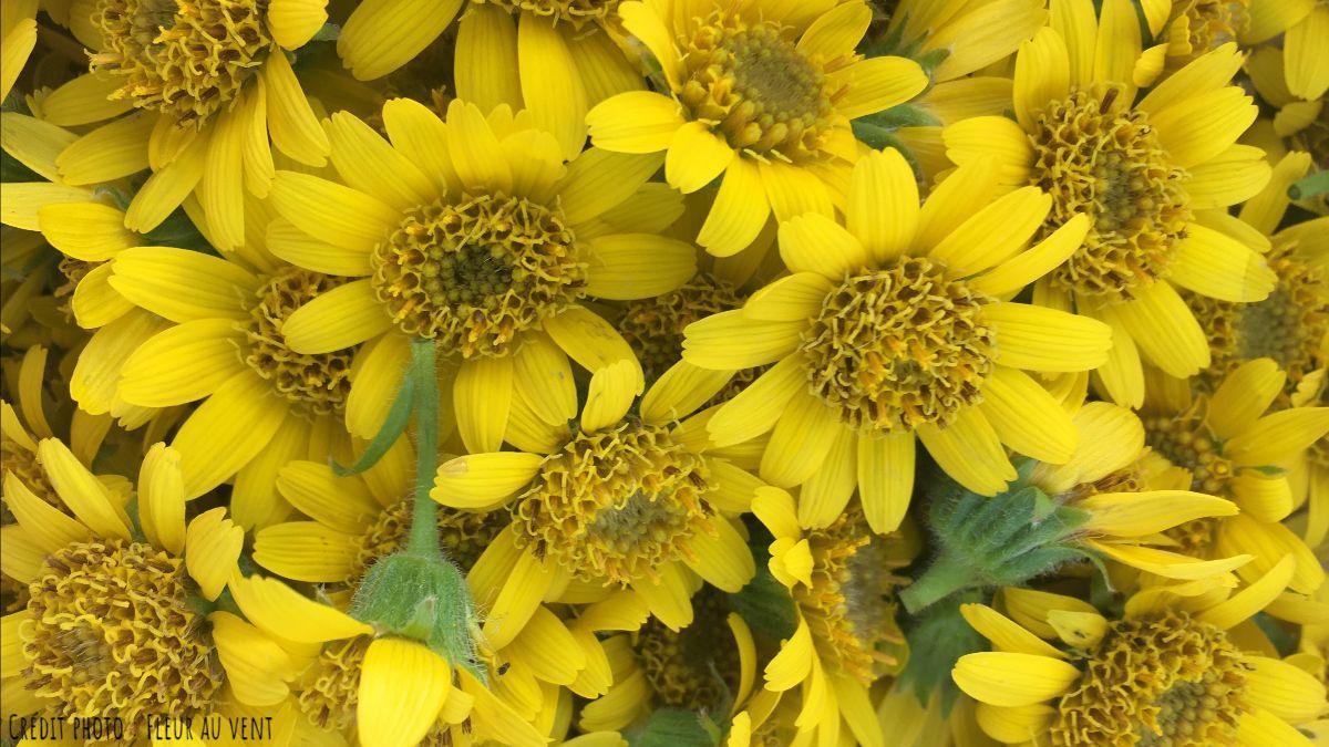 Fleurs d'arnica vibrantes de vie