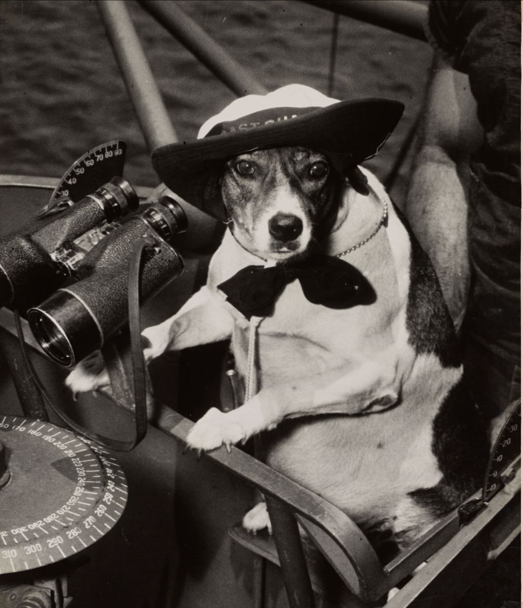 Black and white photograph of a small dog, wearing a hat and tie, sitting in front of binoculars and a compass