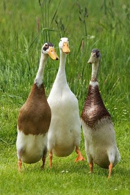 india runner ducks