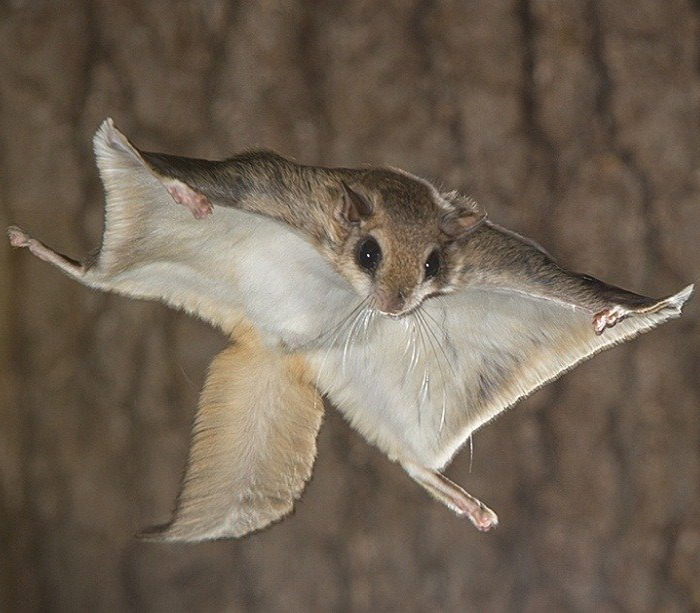 flying squirrel pin fluorescence