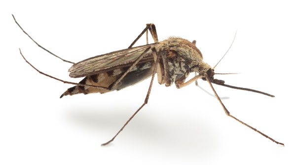 Culex mosquitoes transmit West Nile Virus and other mosquito-borne illnesses.