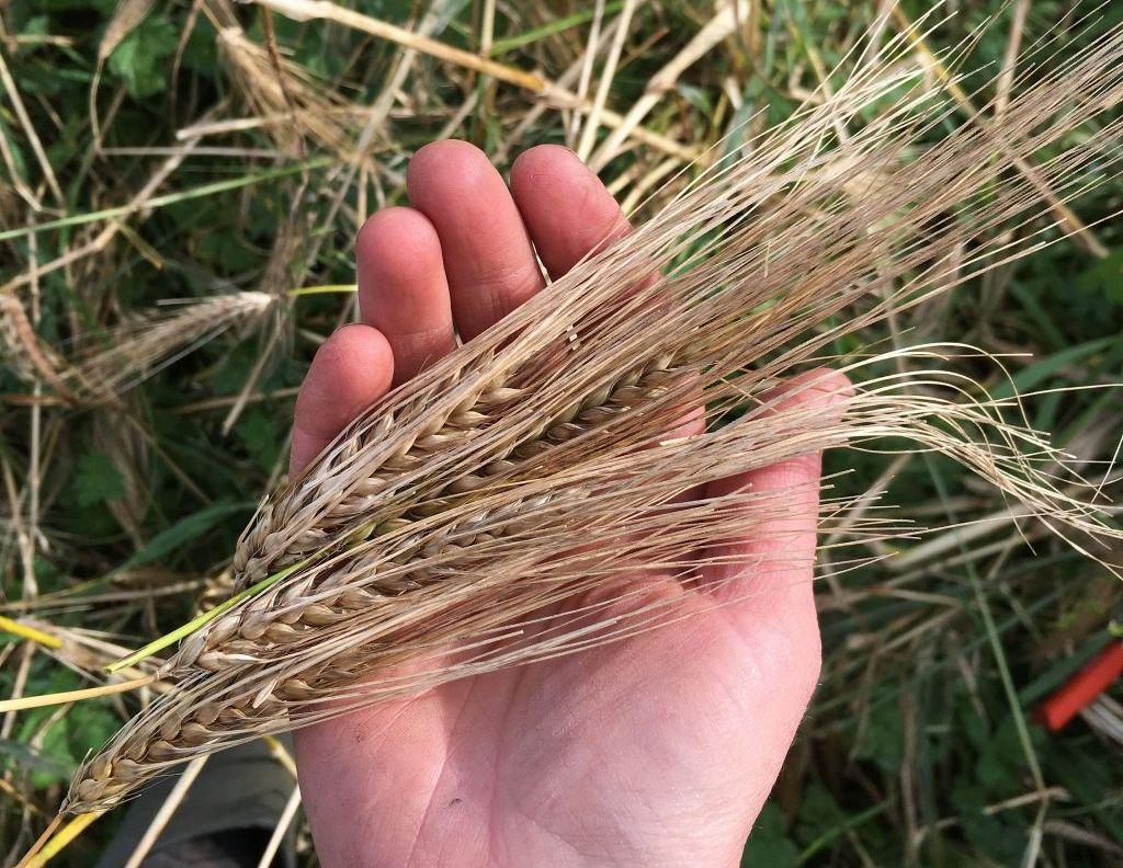 bere barley seed heads