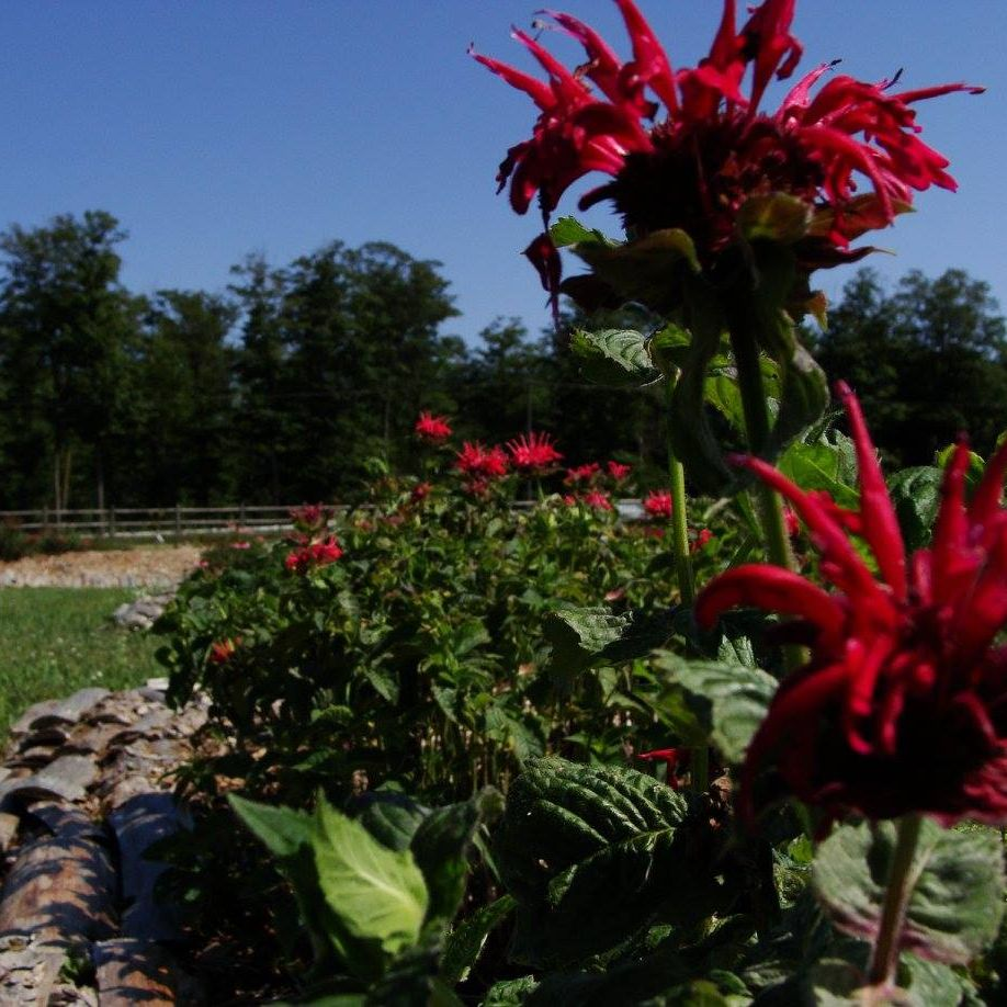 Bee Balm- Red