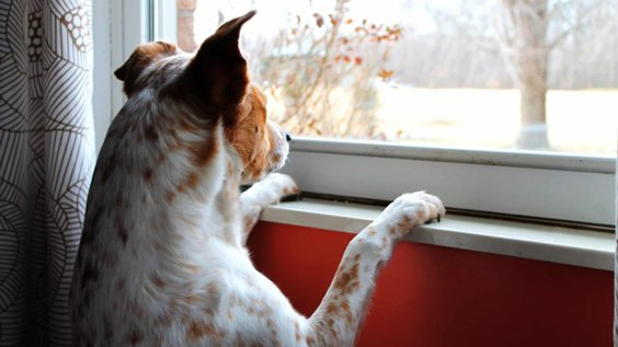 Dog looking out window, waiting patiently for owner's return.