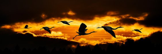 Cranes flying across the sky, silhouetted against a sunrise