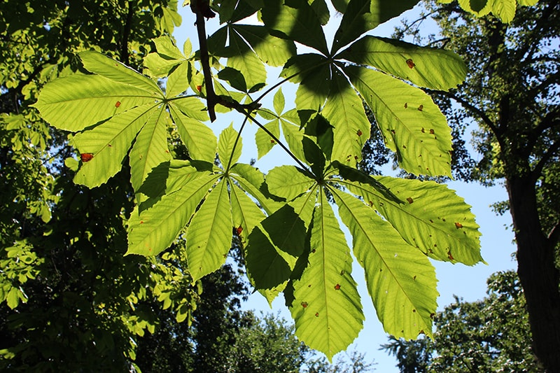 leaves on a horse chestnut tree