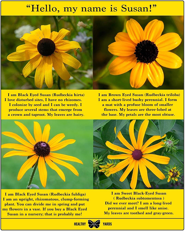 graphic of black and brown-eyed Susan flowers, genus Rudbeckia, select to see larger