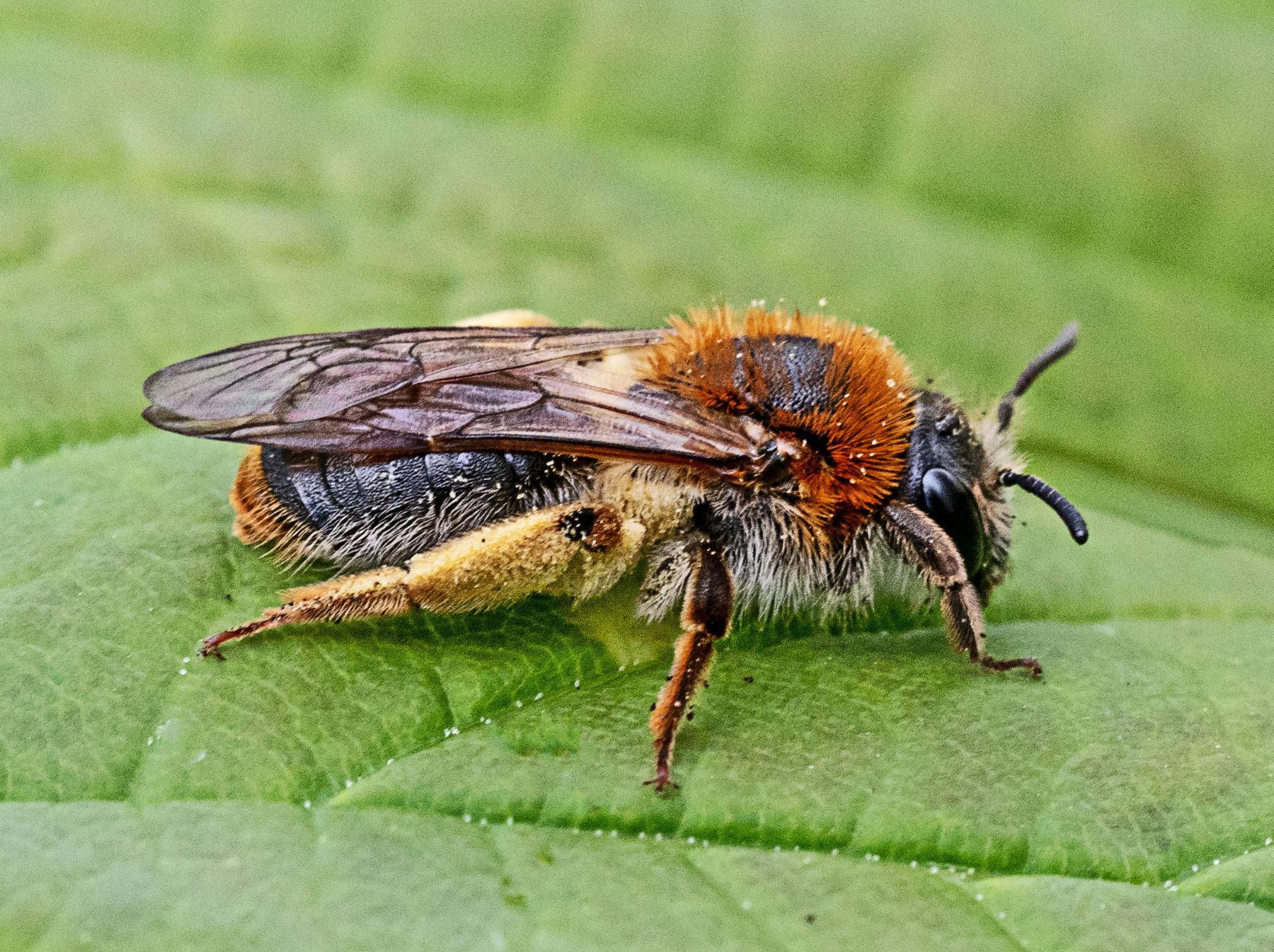 Orange-tailed Mining Bee