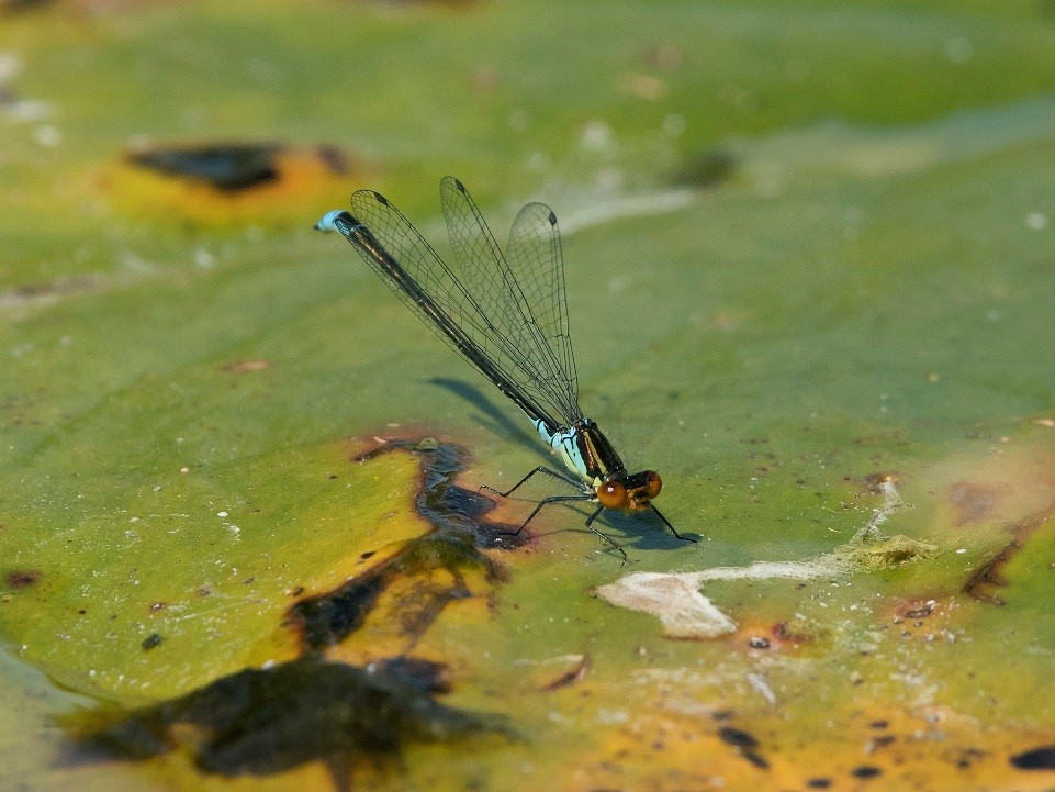 Male Small Red-eyed Damselfly, Lee Park Golf Course, July 2017 (Steve Young)