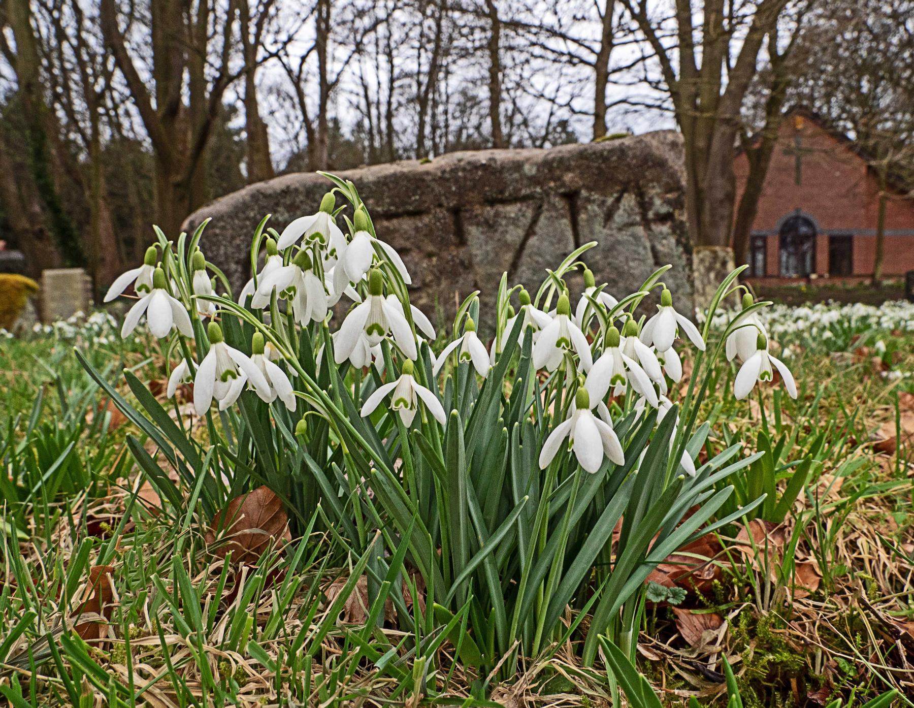 Snowdrops at St Luke's Church graveyard