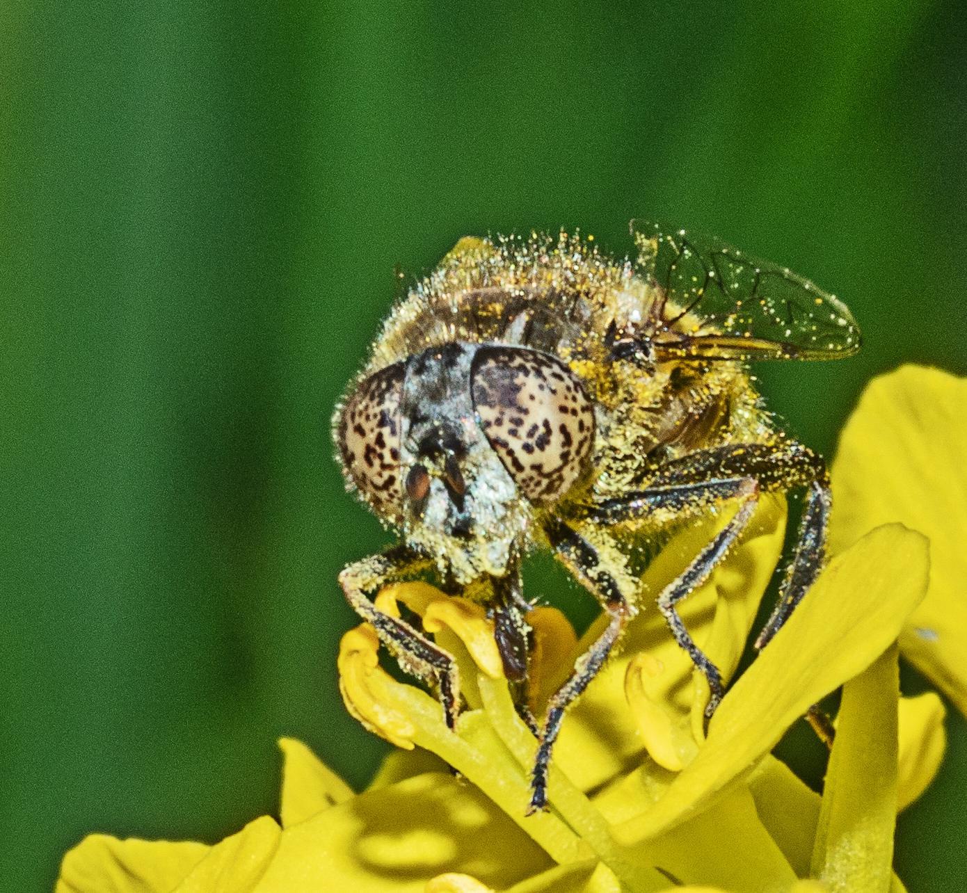 Small Spotty-eyed Dronefly