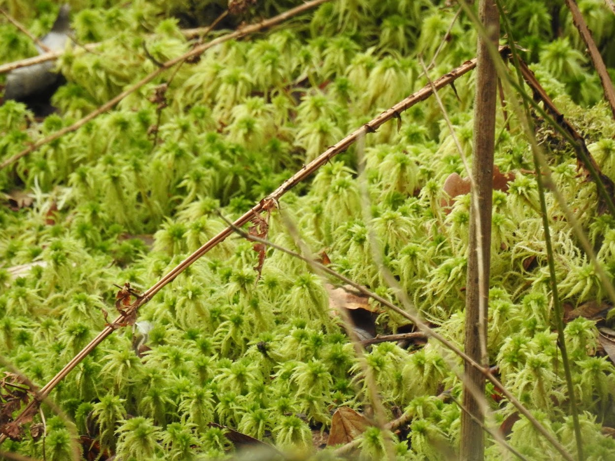 Photo 2: zoomed in image of the spiky bog-moss Sphagnum squarrosum