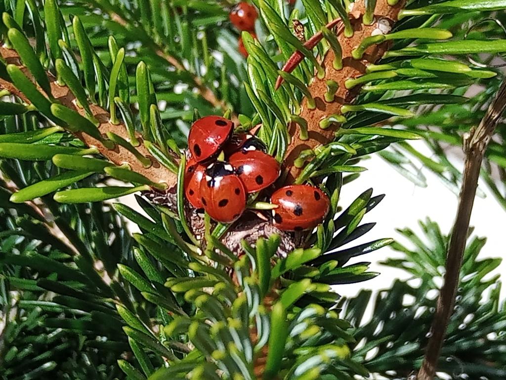 Bloody-nosed Beetle Timarcha tenebricosa