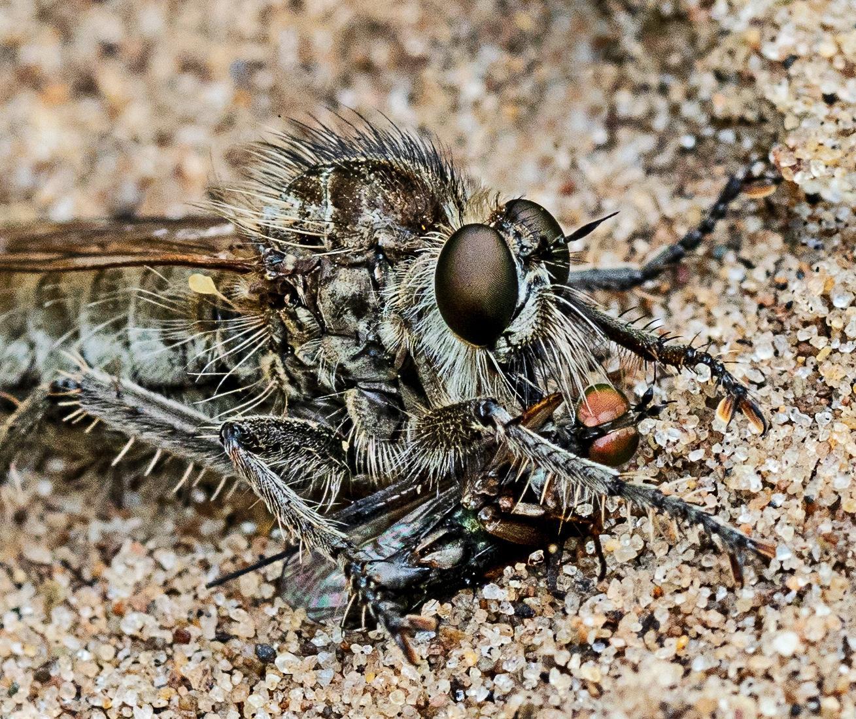 Fan-bristled Robberfly Dysmachus trigonus with prey Range Lane