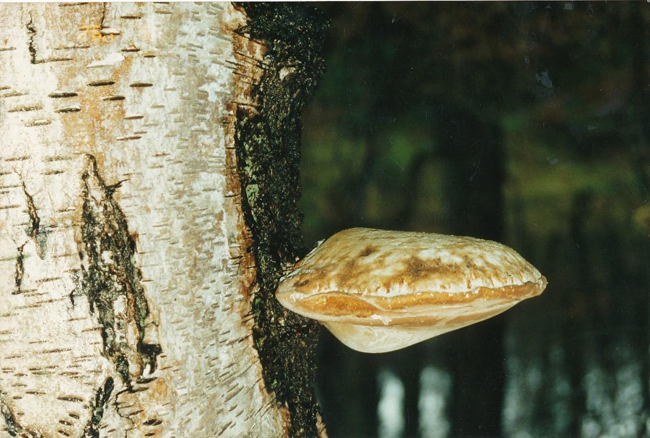 Fomitopsis (Piptoporus) betulinus, Birch Polypore
