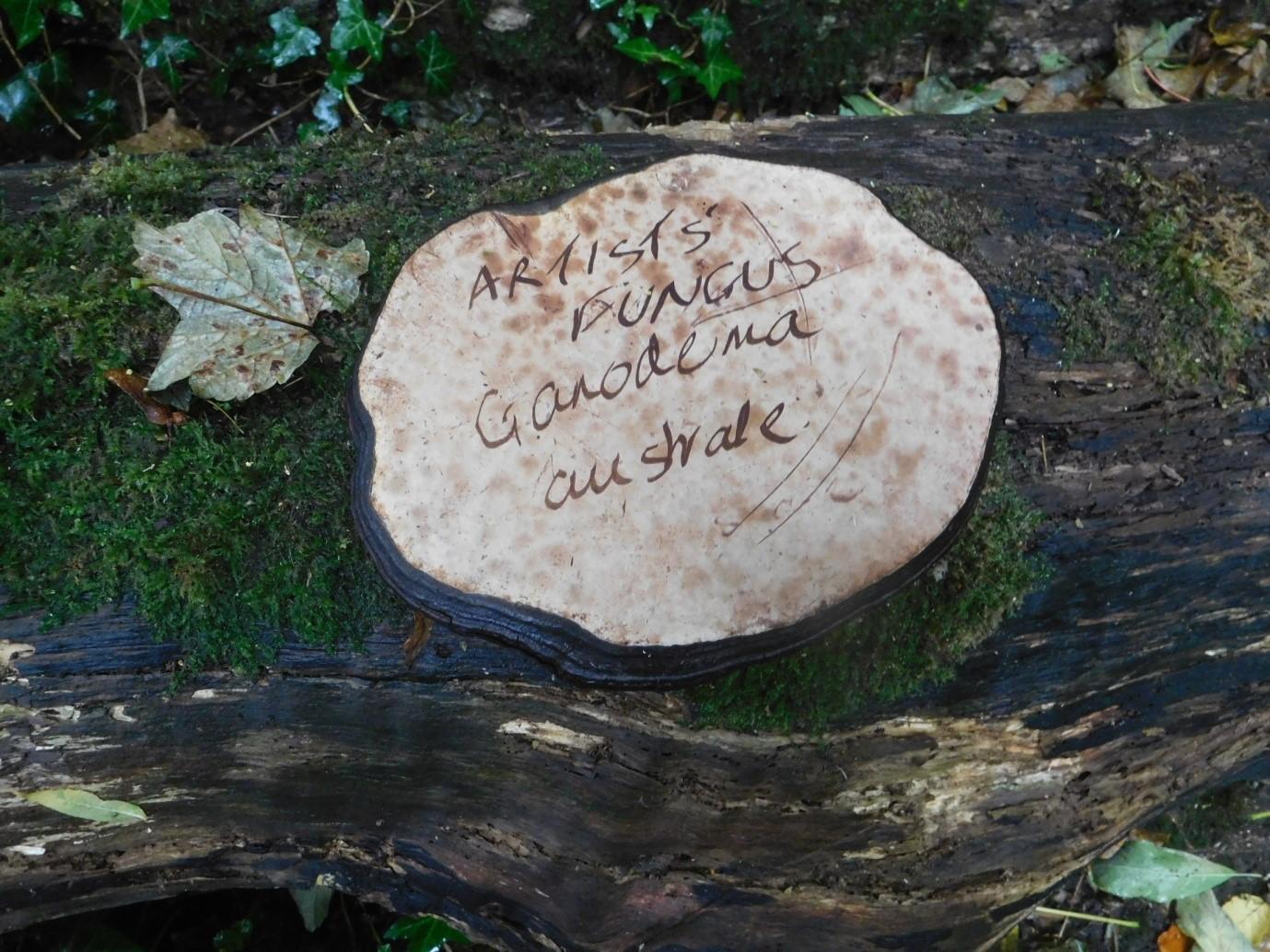 Ganodema applanatum, Artists Fungus