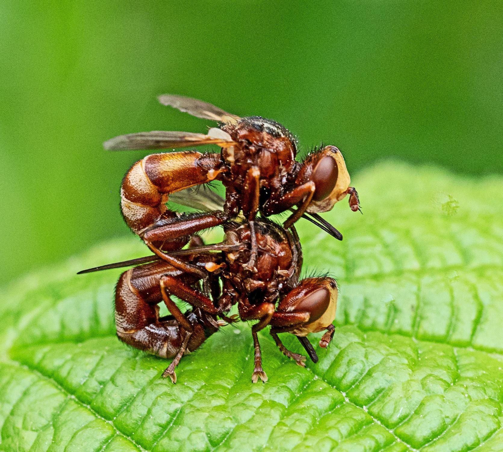 Ferruginous Bee-grabber Sicus ferrugineus pair Hightown
