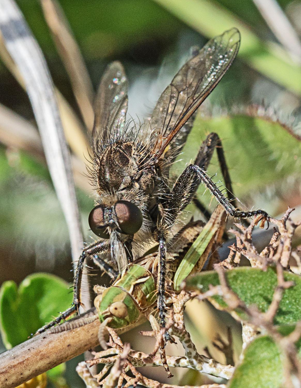 Fan-girdled Robberfly