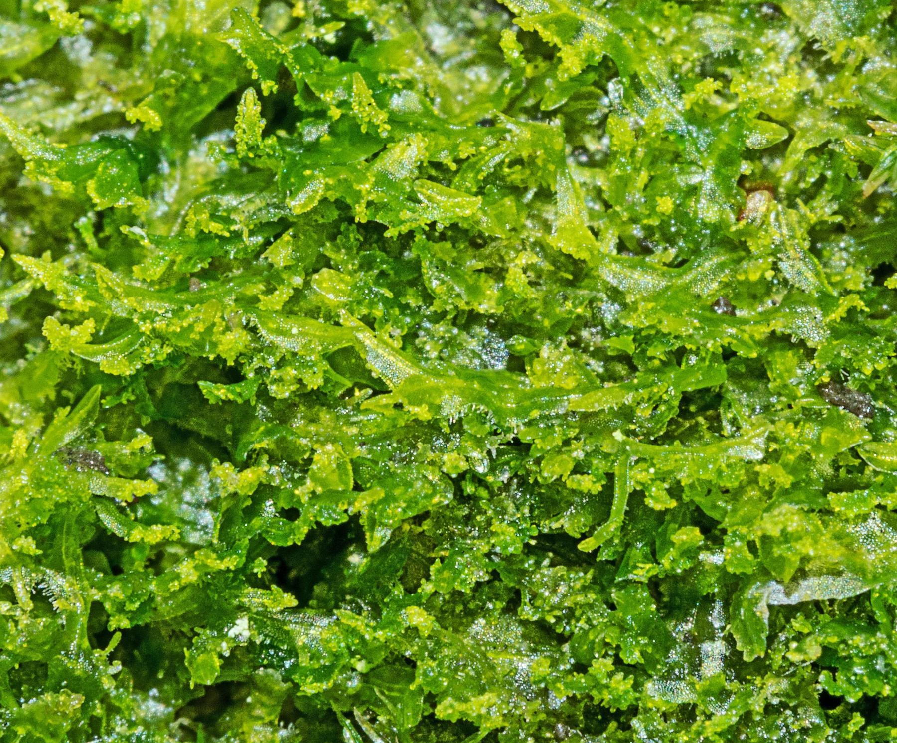 Whiskered Veilwort Metzgeria consanguinea