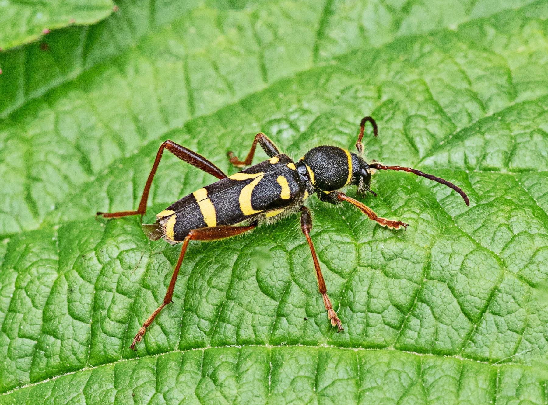Wasp Beetle  Clytus arietis Hightown