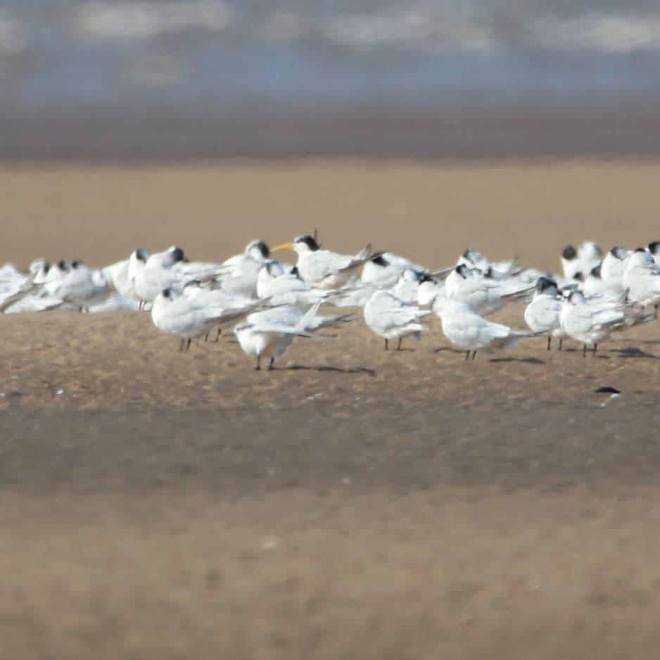 Elegant Tern on Ainsdale Beach