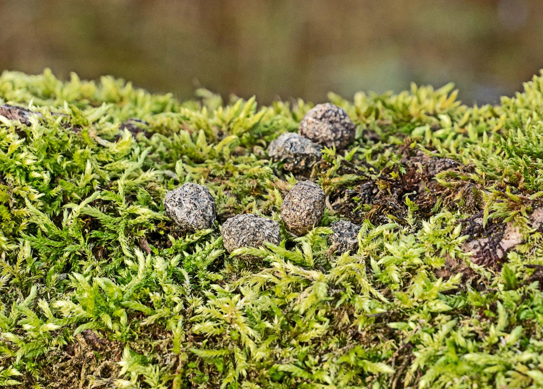 Black Poplar mosses and rabbit droppings