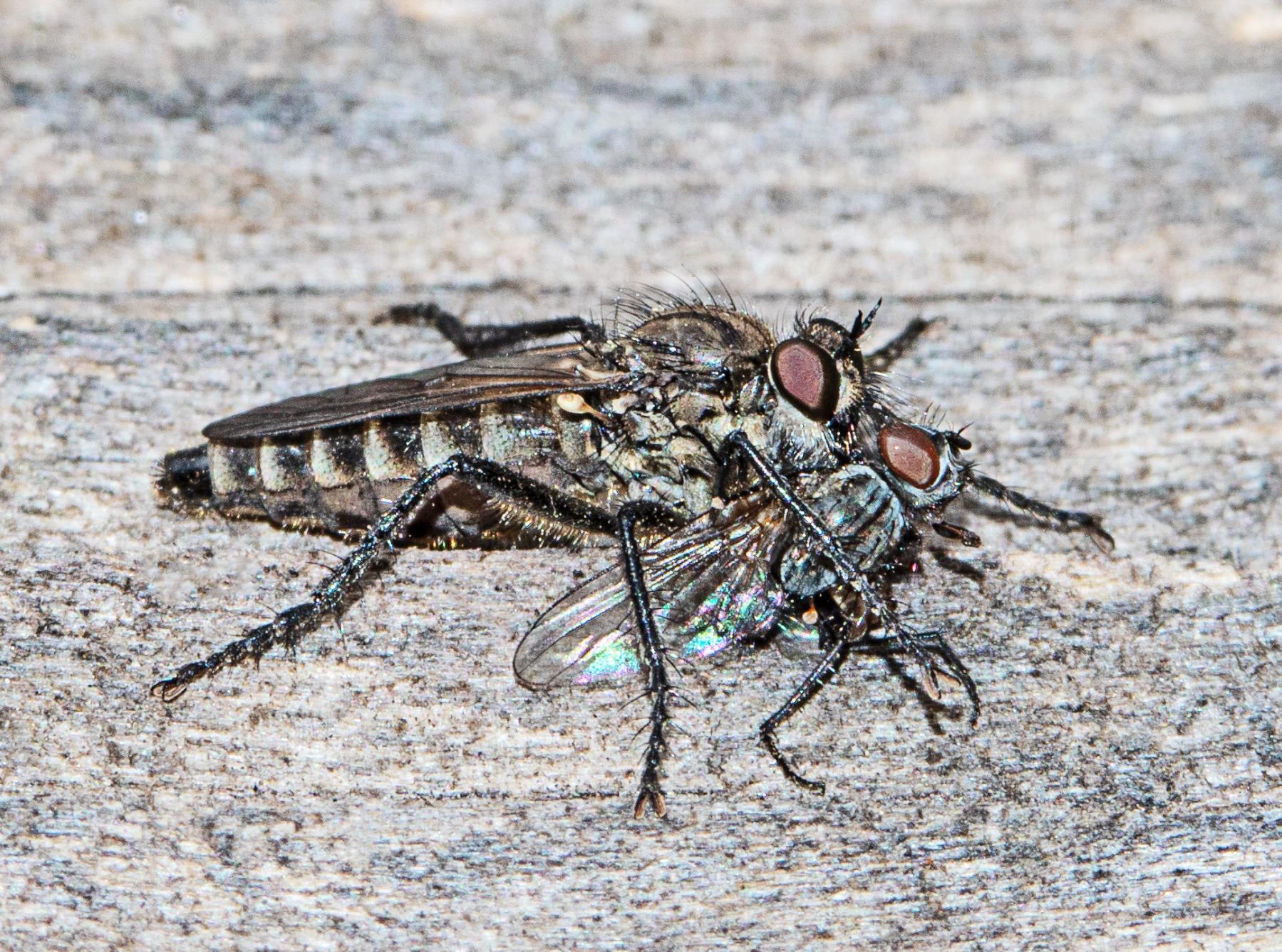 Spring Heath Robberfly