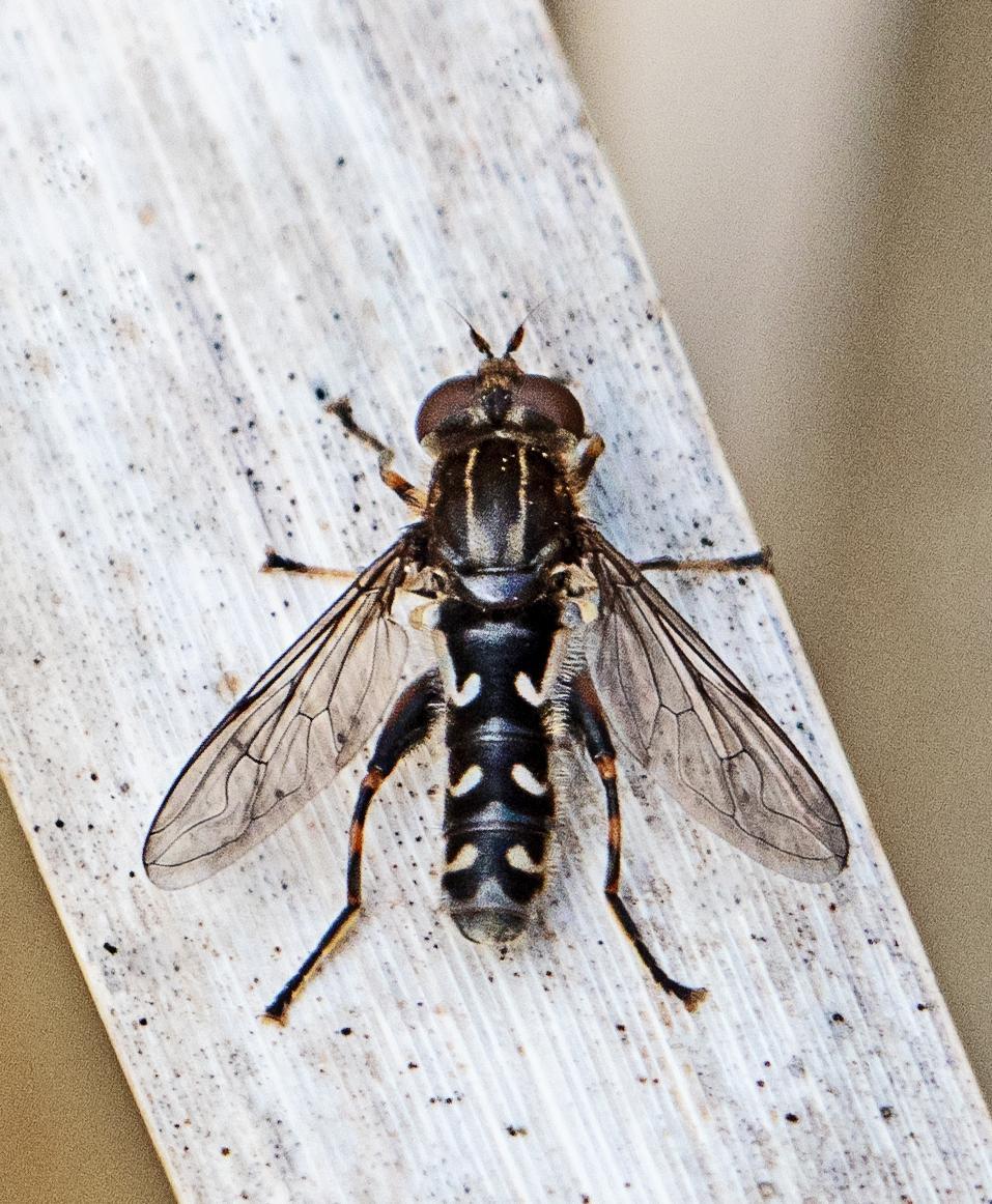 Waisted Duckfly Anasimyia contracta Haskayne
