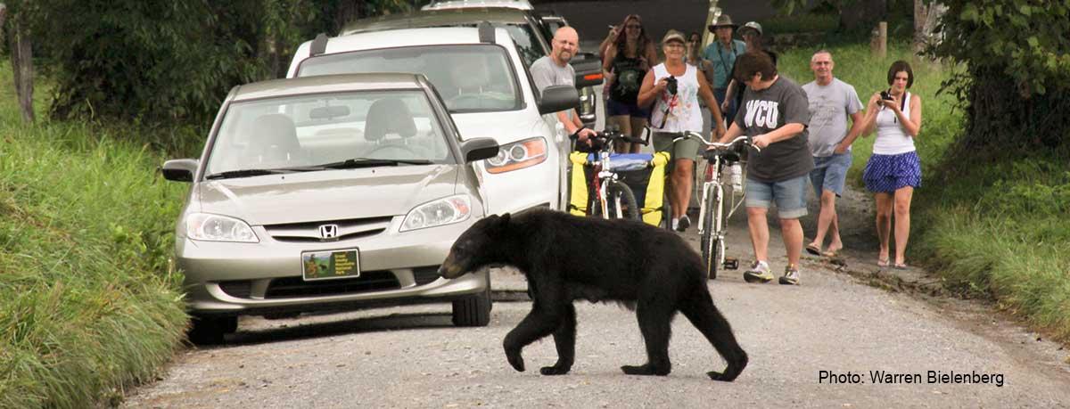 people watching bear crossing the road