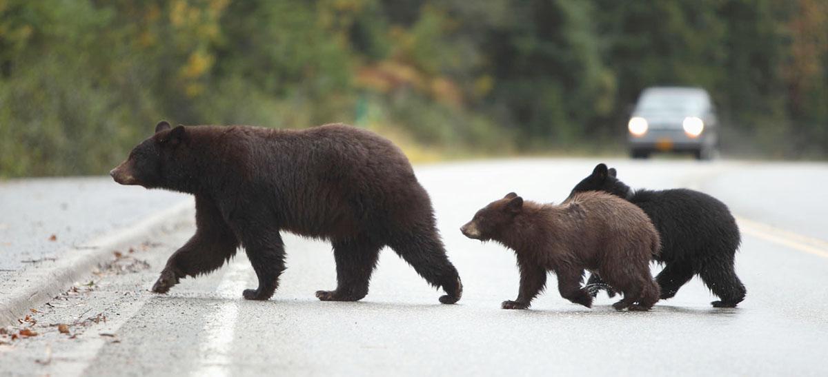 bear family crossing highway (photo)