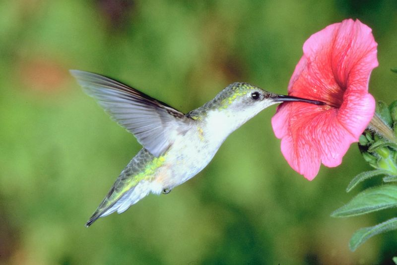 photo: hummingbird-pink flower