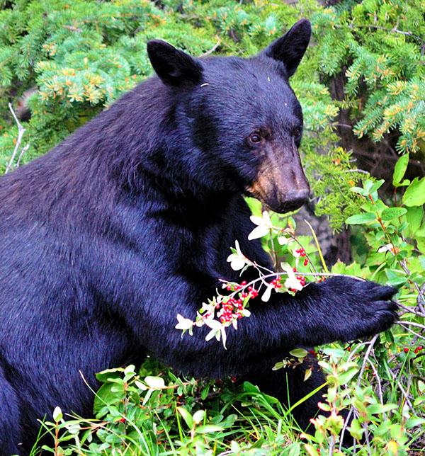 bear eats berries (photo)