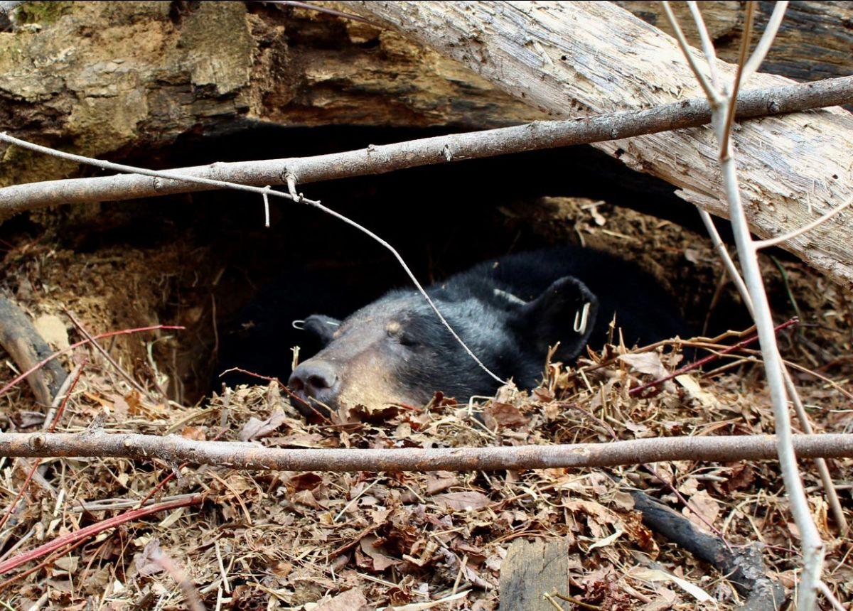 Georgia bear in a den